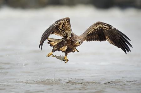 Un águila Calva Juvenil Vuela Justo Después De Agarrar Un Pez En Sus ...