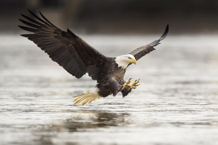 An adult Bald Eagle throws its talons out in front of it right before grabbing a fish out of the water with its wings spread wide.