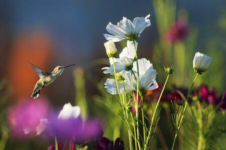 Un colibrí garganta de rubí se sitúa frente a un jardín lleno de coloridas flores en un día soleado.