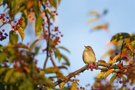 warblers: A Yellow-rumped Warbler perches on a branch of a tree covered in red berries with a blue sky background.