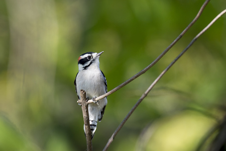 A Downy Woodpecker is perched on a tiny branch with a small spot of sunlight on its head. Stock Photo
