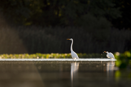 A Pair of Great Egrets hang out in the shallow water as the sun rises behind them against a dark background.