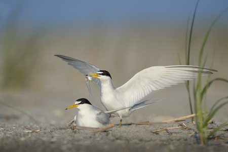 A pair of Least Terns perform a courtship ritual as the male holds a fish offering for the female on a sandy beach on a sunny day.