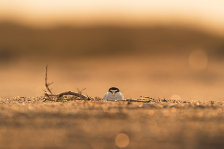 settles: An endangered Least Tern settles in on her nest on a sandy beach as the sun rises behind her. Stock Photo
