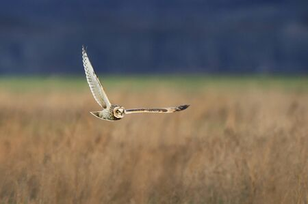 A Short-eared Owl flies low over an open field in search of food in the soft evening light.