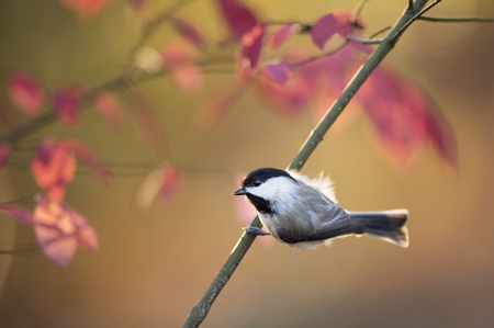 A tiny cute Carolina Chickadee perches on a branch with colorful red leaves in the background.