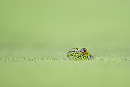 tiny frog: A tiny frogs one eye is visible just above the surface of the solid green duckweed covered water. Stock Photo