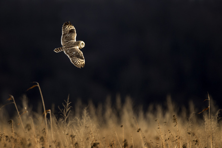 A Short-eared Owl flies just over a field of tall brown grass on a sunny evening against a black background. Stock Photo