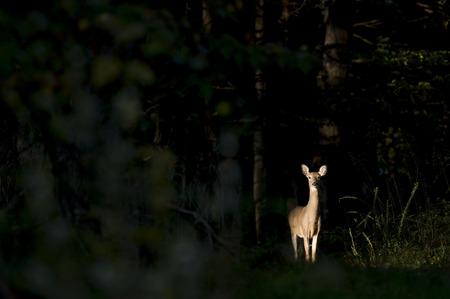 venado cola blanca: Un venado cola blanca femenina de alerta se encuentra en un punto de mira de sol de la mañana rodeado de maderas oscuras. Foto de archivo