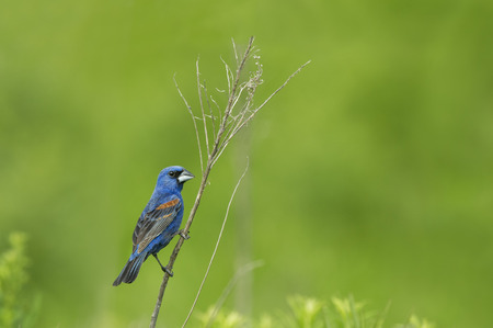 A bright Blue Grosbeak perches on a small branch in front of a smooth green background. Stock Photo