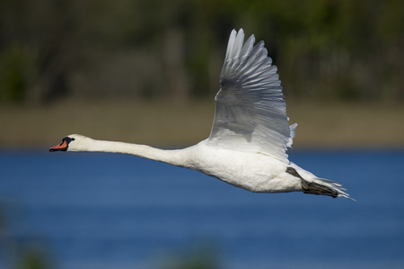 A big white Mute Swan flies by on a bright sunny day with a blue and brown smooth background.