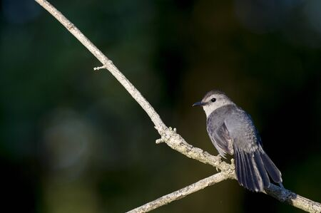 A Gray Catbird sits perched on a bare branch on a bright sunny day against a dark black background.