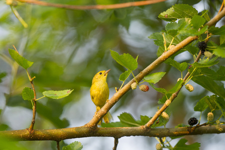 warblers: A tiny Yellow Warbler sits perched on a branch with berries on a sunny morning.