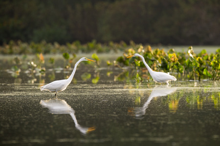 egrets: A pair of Great Egrets hunt in the shallow water with green water plants in the background.