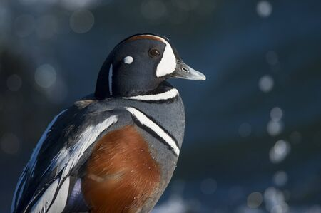 arlecchino: A male Harlequin Duck portrait on a bright sunny day with a blue water background