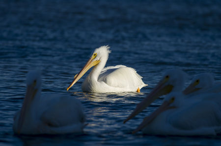 A single American White Pelican is spotlit by the afternoon sun as a group of pelicans swim in the shade.