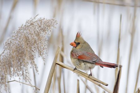 A female Northern Cardinal perched on a stick in front of a snowy background. Stock Photo