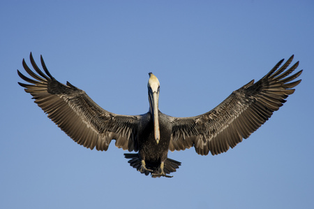A Brown Pelican comes in for a landing with its wings fully spread out showing lots of feather detail. Stock Photo