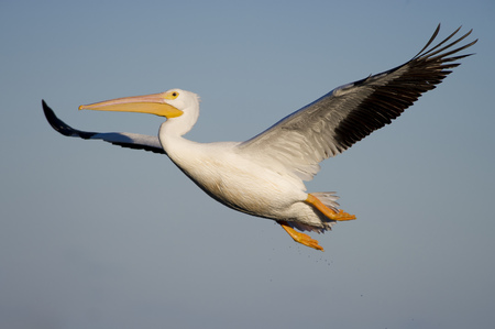 A huge American White Pelican glides through the air with its big wings outstretched  on a sunny afternoon.