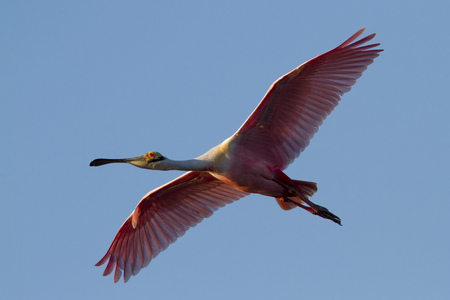 roseate: A bright pink Roseate Spoonbill glides across the sky as the late evening sun shines on it.