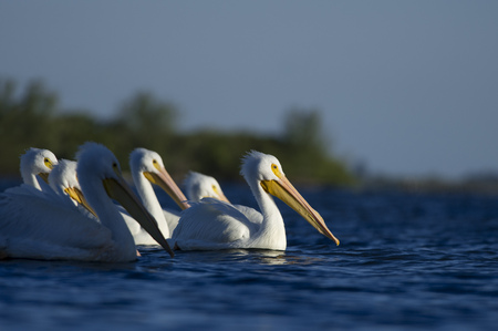 them: A small flock of American White Pelicans swim on the bright blue water as the sun shines on some of them. Stock Photo