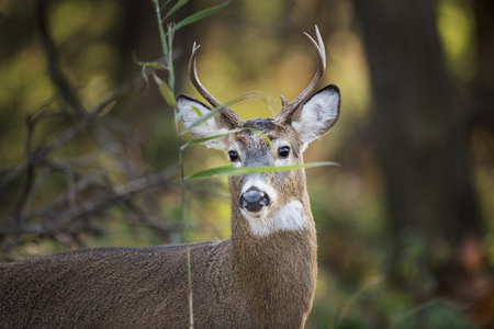 venado cola blanca: A young Whitetail deer buck stands behind a small green leaf in the forest.