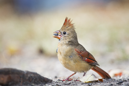 A female Northern Cardinal holds a seed in its beak as it eats on the ground