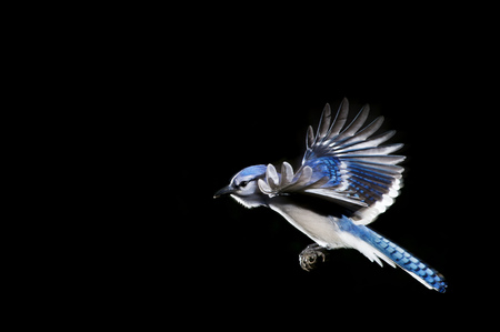 A brightly colored Blue Jay flying with its wings stretched out against a solid black background.