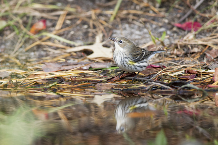 warblers: A Yellow-rumped Warbler stands in front of a small pool of water on the ground covered in pine needles. Stock Photo