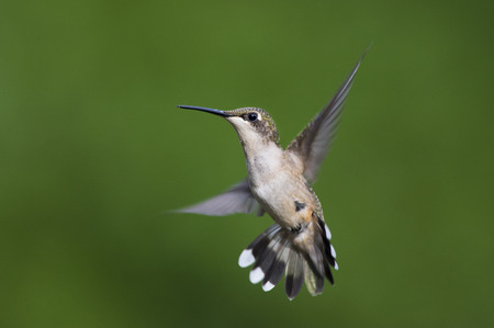 A female Ruby-throated Hummingbird flares its tail as it hovers in front of a smooth green background.