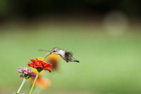 Una hembra colibrí de garganta rubí se alimenta de una flor de zinnia en frente de un fondo verde liso.