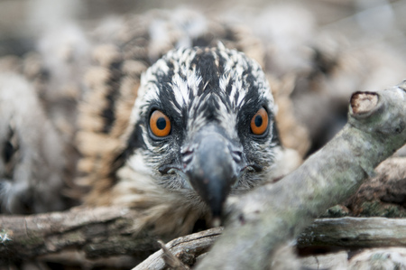 A close up featuring the bright orange eyes of a young Osprey sitting in its nest trying to stay hidden