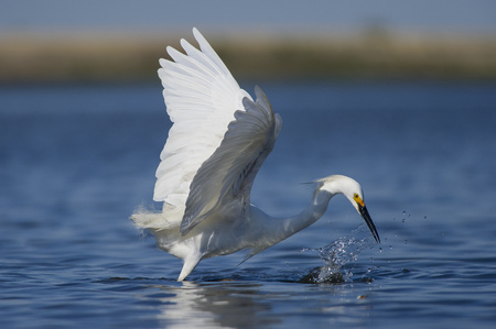 A white Snowy Egret just misses a small fish while striking at the water creating a splash with its wings outstretched.