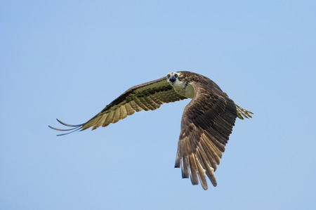 An adult Osprey flies in front of a blue sky calling out loudly on a bright sunny day.
