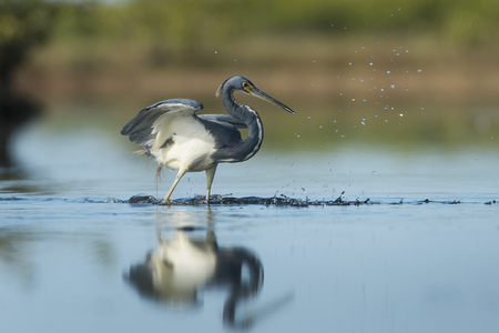 A Tri-colored Heron misses a fishing attempt in the shallow water on a sunny morning. Stock Photo