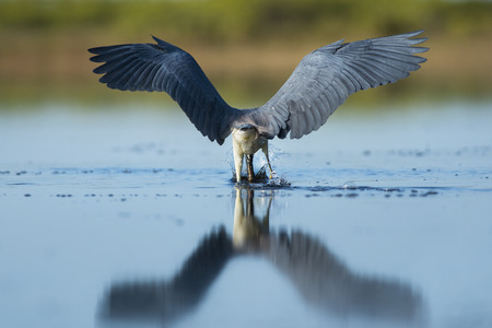 A Tri-colored Heron plunges its head into the water trying to catch fish in the shallows with its wings out. Stock Photo
