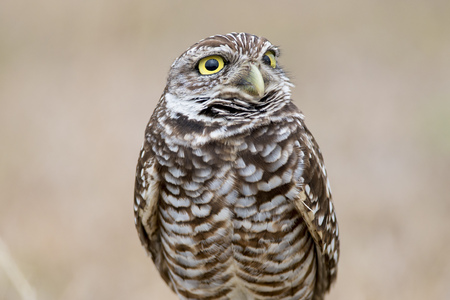 A Owl looks up with its big yellow eyes in front of a smooth brown background.