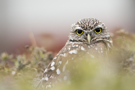 A close portrait of Florida Burrowing Owl as it looks at the camera while sitting in its burrow.