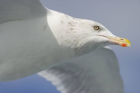 A close portrait of a flying Herring Gull on a sunny day.