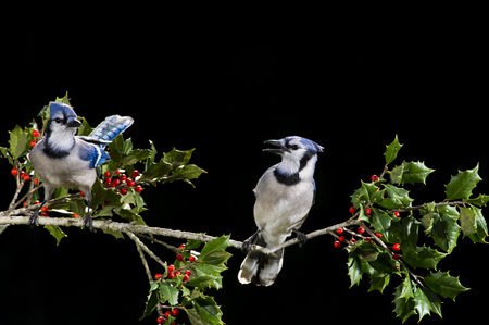 green jay: A pair of Blue Jays perch on a branch of holly with red berries against a solid black background.