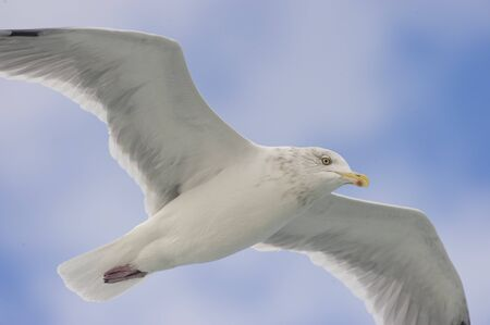 A Herring Gull flies overhead with a soft blue sky and cloudy background. Stok Fotoğraf