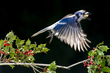 A Blue Jay takes off from a branch of holly with a peanut in its beak against a solid black background.
