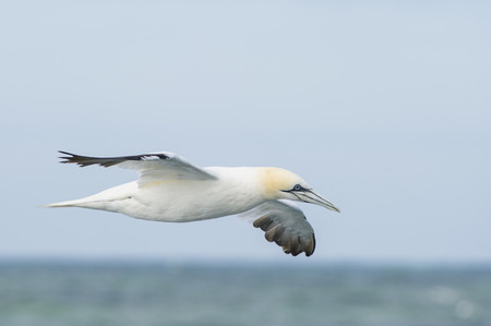 A Northern Gannet flies just over the ocean horizon on an overcast day.
