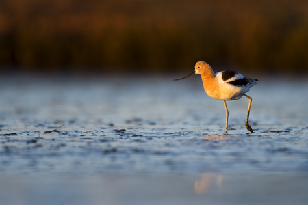 An American Avocet walks through the thick soft mud flat just as the early morning sun rises. Stock Photo