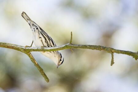 warblers: A Black and White Warbler perches on a high branch looking down.