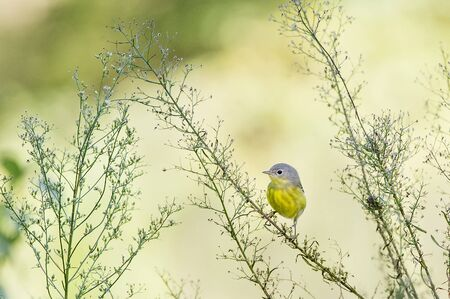 warblers: A female Magnolia Warbler perches on a plant in front of a bright sunny background. Stock Photo