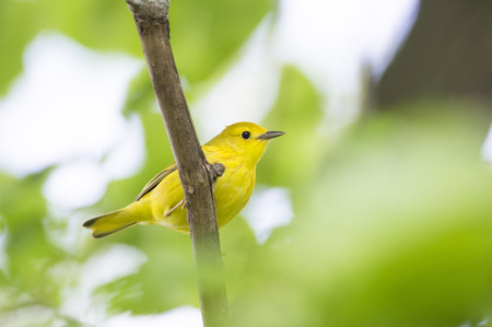 warblers: A small Yellow Warbler perches on a branch surrounded by green leaves