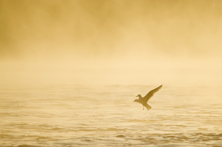 glows: A Ring-billed Gull flies just over the water as the morning fog glows yellow and orange in the early morning sun.