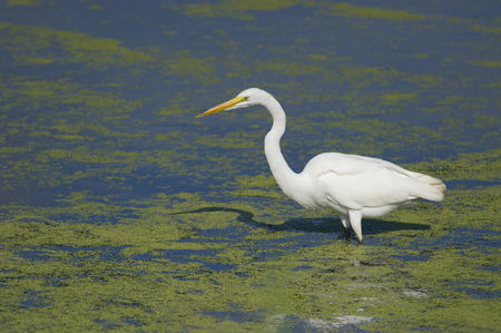 A Great Egret wades in the shallow duckweed covered water on a bright sunny day with its shadow on the water. Stock Photo