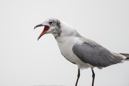 animal screaming: A Laughing Gull calls out loudly showing off its red mouth in front of a solid white background.